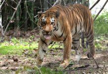 Seekor harimau di taman nasional di Bhopal, India. (Sanjeev Gupta/EPA via The Sun).