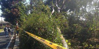 Pohon Sengon Yang Menyebabkan Padamnya Listrik di Jakarta dan Jawa Bagian Barat