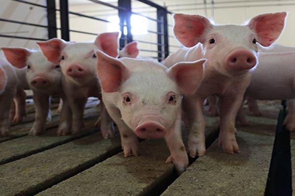 Ternak babi (pork.org/bernama)