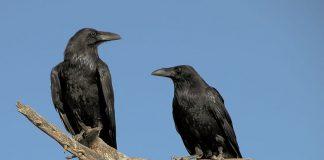 Ilustrasi burung gagak (Foto: britannica)