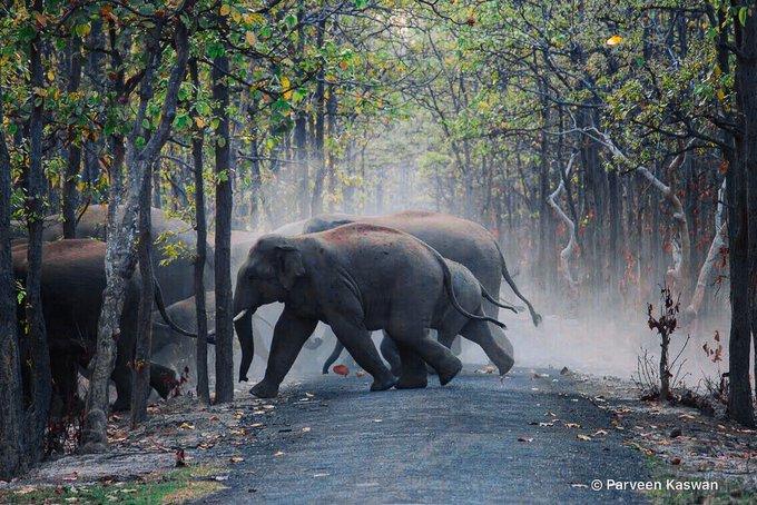 Gajah mabuk. Foto: Twitter/@ParveenKaswan