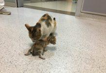 Induk kucing membawa anaknya ke UGD sebuah rumah sakit di Istanbul, Turki. (Foto: Twitter)