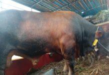 Petugas Karantina Pertanian Tanjungpinang saat melakukan pemeriksaan terhadap sapi kurban yang masuk ke Bintan (Suryakepri.com)