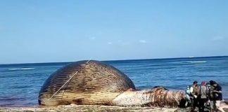 Ikan Paus Biru Raksasa dikubur di pantai di Kupang, NTT