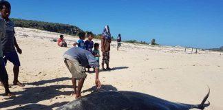 Satu di antara 11 ekor paus pilot yang terdampar di pantai Sabu, Nusa Tenggara Timur, Kamis (30/7/2020). Foto: Antara/Istimewa)
