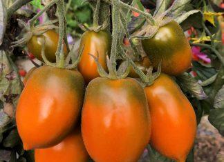 "Strain baru tomat yang dinamai""Xantomato,"" yang merupakan kombinasi dari ""xanthophyll"" dan ""tomat."" (Foto: huji.ac.il)"