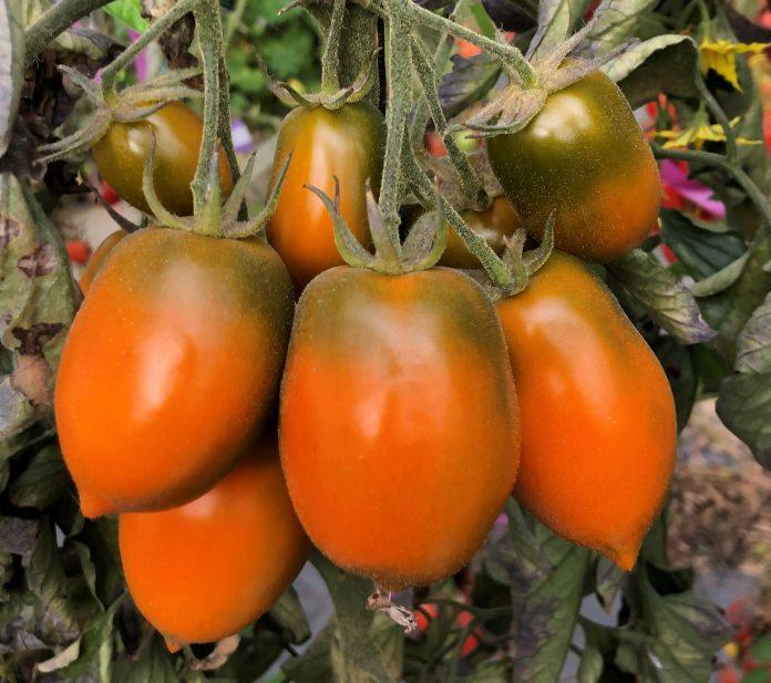 Strain baru tomat yang dinamai
