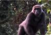 Kwibi, gorilla anak angkat Damian yang kembali bertemu setelah lima tahun berpisah. (Foto: screenshot video)
