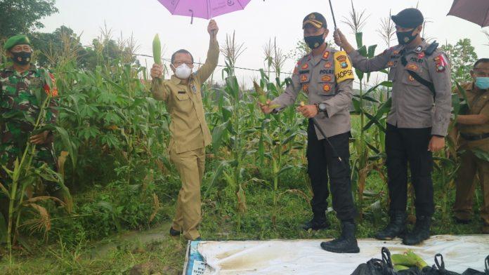 Kapolres Bintan AKBP Bambang Sugihartono saat panen jagung perdana (Suryakepri.com/ist)