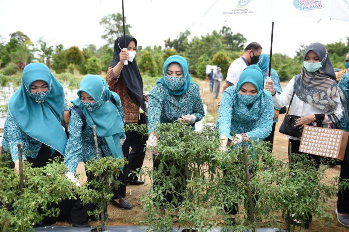 Pjs Ketua TP-PKK Provinsi Kepri, Hj Sofha Marwah Bahtiar meninjau perkebunan TP-PKK di UPT Balai Benih Induk Pertanian, Tembeling, Bintan, Rabu (14/10/2020).