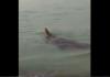 Tangkapan layar penampakan buaya besar di perairan pantai dekat Pulau Putri, Nongsa, Batam, Kepulauan Riau.. (Suryakepri.com)