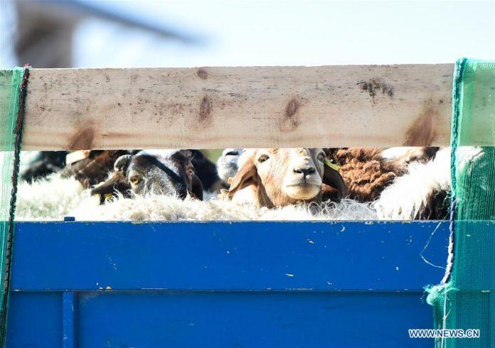 Foto yang diambil pada 22 Oktober 2020 menunjukkan domba yang disumbangkan oleh Mongolia di Pelabuhan Erenhot di Erenhot, Daerah Otonomi Mongolia Dalam, Tiongkok utara. (Xinhua / Peng Yuan)