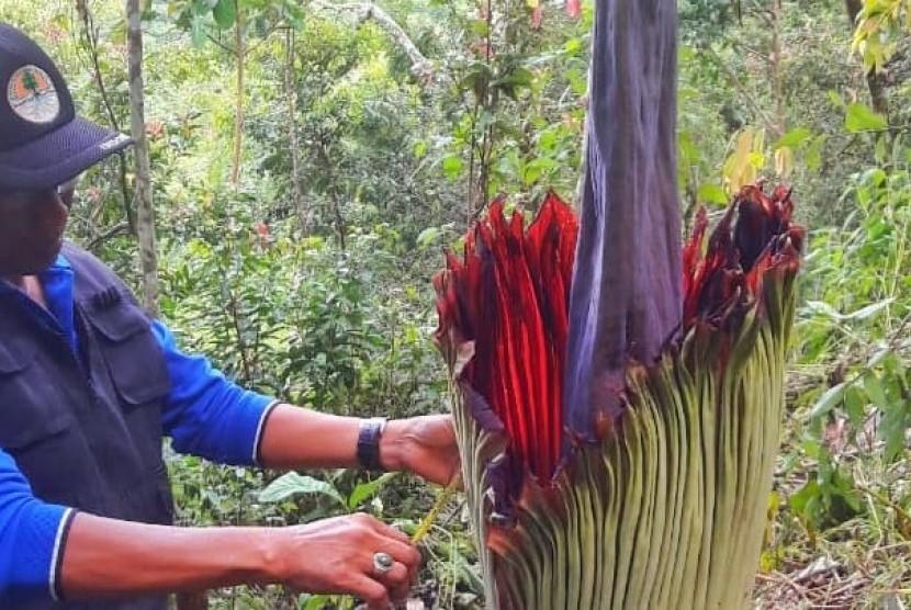 Bunga Rafflesia Arnoldii Berdiameter 80 Cm Ditemukan Warga Di Tepian Sungai Surya Kepri