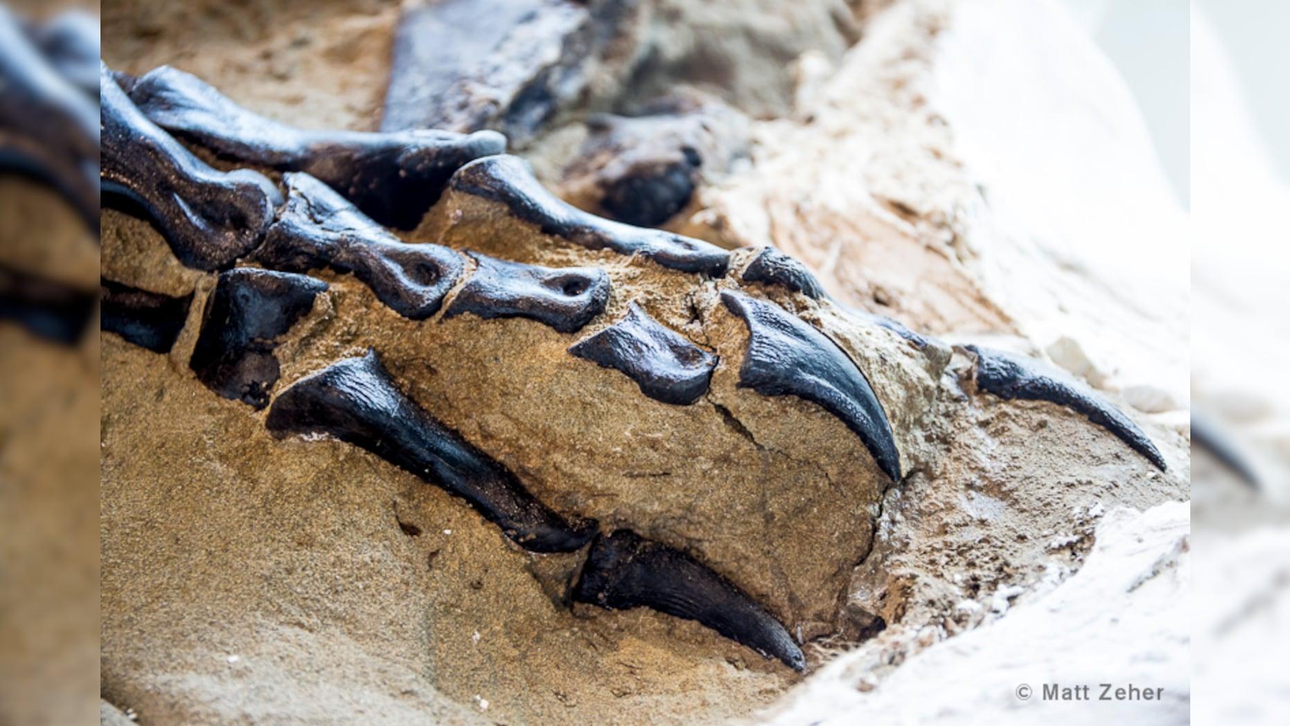 "Fosil Perkelahian brutal T-Rex dan Triceratops masih terbungkus sedimen dipamerkan di North Carolina Museum of Natural Sciences.Fosil ini dinamai ""Dueling Dinos"".  (Foto: Fox News)"