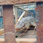 Buaya yang tertangkap di alur sungai sekitar PT KMS dibawa ke Mapolres Karimun, Jumat (18/12/2020) sore. Buaya itu langsung diserahkan ke BKSDA Kepri. (Foto Suryakepri.com/Rachta Yahya)
