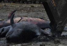Sumber foto: Puluhan ikan Paus Pilot Sirip Pendek yang terdampar mati di Madura. (sumber: cnn indonesia.com)