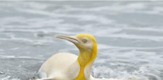 Penguin langka warna kuning yang dipotret oleh fotografer Yves Adams di Georgia Selatan. (Foto dari Live Sciende)