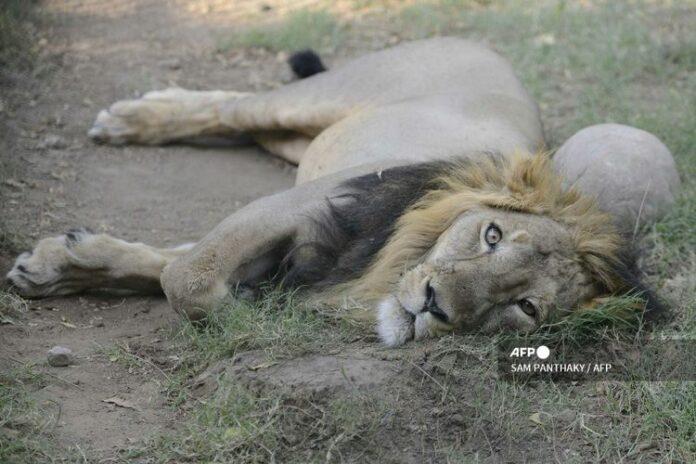 Singa Asia, Ambar, di dalam kandang terbukanya di The Kamla Nehru Zoological Garden di Ahmedabad, dokumentasi pada 9 Maret 2016.(KC/AFP PHOTO)