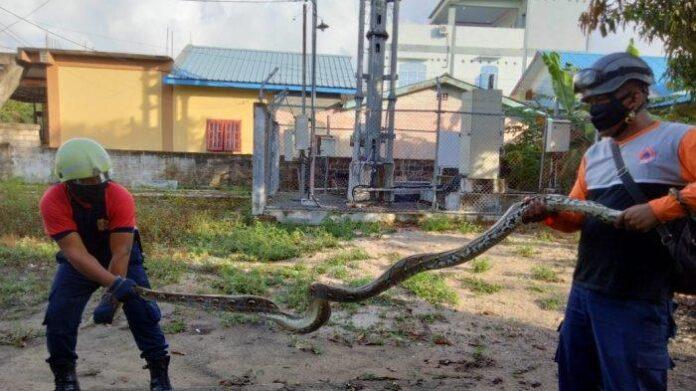 Petugas Damkar Tanjunguban menangkap seekor ular piton yang masuk ke dalam kandang ayam warga di jalan Bhakti Praja, Gang Nangka, Kelurahan Tanjunguban Selatan, Kecamatan Bintan Utara.