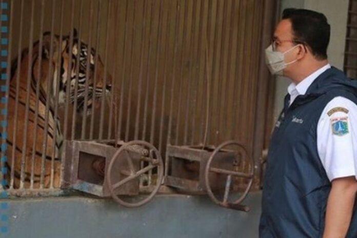 Gubernur DKI Jakarta Anies Baswedan mengunjungi harimau Sumatra yang terpapar Covid-19 di Raman Margasatwa Ragunan, Minggu (1/8/2021)(Dok Instagram @aniesbaswedan)