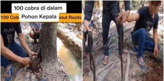 Pria Ini Temukan 100 Ular di Dalam Pohon Kelapa, Bikin Merinding (Sumber: TikTok/@priamales