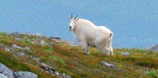 Seekor kambing gunung berdiri di garis punggung bukit di Juneau, Alaska. (Foto: Becky Bohrer/AP via Guardian)
