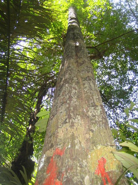 Pohon Ebony (Diospyros celebica Back) di Sulawesi Selatan. (Foto dari treeplantation.com)