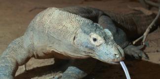 Komodo masuk daftar merah sebagai hewan yang terancam punah. (Flickr: Mark Dumont via ABC.net)