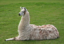 Antobodi llama berpotensi menjadi obat Covid-19. (RRI.co.id)