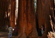 Sequoia raksasa California adalah beberapa pohon terbesar di dunia, dan menjadi daya tarik populer bagi wisatawan. (Foto: AFP / MARK RALSTON)