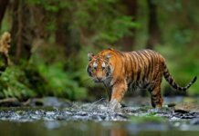 Harimau Sumatera(Fota Ilustrasi)