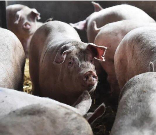 Ginjal babi bisa ditransplantiasikan ke tubuh manusia. (Photo by Nathan Stirk/Getty Images via The Verge)