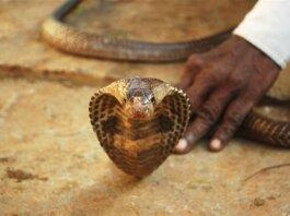 Foto ilistrasi. Seorang pria memegang ular kobra di foto stok ini. (Getty Images/ChandrashekarReddy)