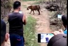 Warga memotret dan merekam video saat Harimau Sumatera masuk ke perkebunan warga di Aceh Selatan. (Foto: tvonenews.com)